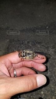 昆虫,セミ,コエゾゼミ