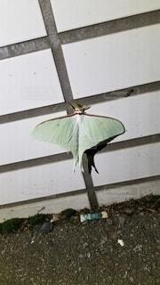 昆虫,蛾,オオミズアオ,日本一美しい