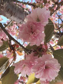 花,屋内,ピンク,草木,桜の花,ブルーム,ブロッサム