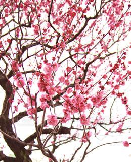花,春,赤,梅,枝,樹木,ウメ,文化,クール,力強い,幹,梅の花,草木,シック,うめ,大和,日本の文化,立派