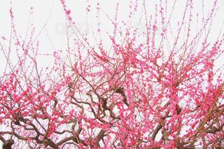 花,木,梅,壮大,樹木,ウメ,文化,クール,力強い,梅の花,草木,シック,堂々,うめ,日本の文化,立派