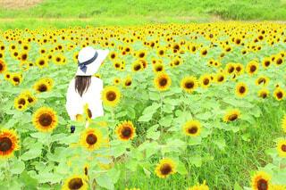女性,花,夏,花畑,ひまわり,散歩,景色,草,爽やか,向日葵,麦わら帽子,元気,夏休み,明るい,冒険,華やか,草木