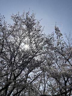 空,桜,鳥,屋外,草木