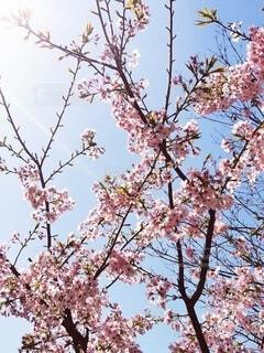 空,花,春,屋外,葉,樹木,座る,草木,桜の花,さくら,腰掛け,ブロッサム,支店