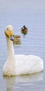 動物,鳥,湖,水面,スワン,鴨,水鳥,水の鳥