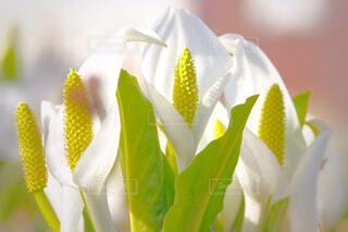 花,白,水芭蕉,草木