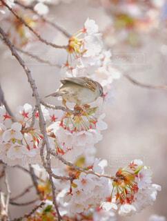 花,桜,鳥,屋外,スズメ,ブロッサム