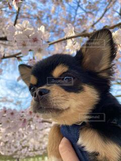 桜を見る犬の写真・画像素材[4306318]