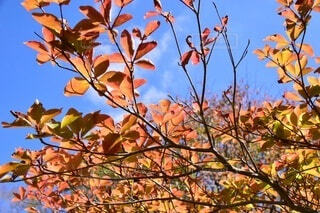 陽の光に透ける秋の葉の写真・画像素材[4343818]