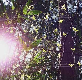 森林,木,屋外,葉,光,樹木,逆光,草木,透ける葉