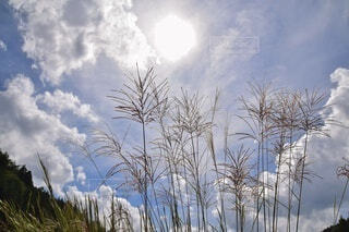 自然,空,秋,屋外,太陽,雲,光,樹木,ススキ,草木,すすき,空がきれい
