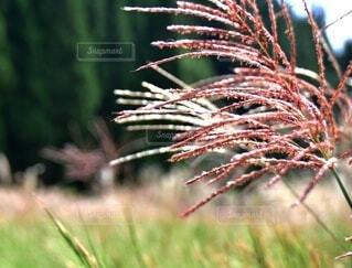 自然,秋,屋外,草,ススキ,野原,草木,すすき
