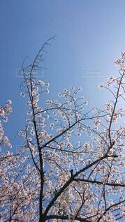 空,花,春,桜,屋外,ピンク,青空,サクラ,樹木,ブルー,ブロッサム,空に映える桜