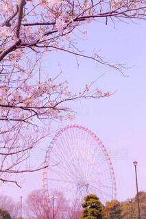 空,桜,屋外,ピンク,青空,観覧車,樹木,景観,さくら