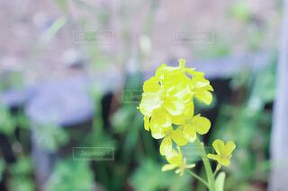 花,春,屋外,かわいい,黄色,菜の花,草木,なのはな,きいろ,フローラ