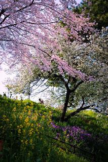 公園,花,春,屋外,ピンク,かわいい,フラワー,紫,樹木,草木,きいろ,さくら,ブルーム,ぴんく,ブロッサム