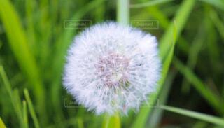 花,屋外,草,ふわふわ,たんぽぽ,綿毛,草木,タンポポ,フワフワ,わた,フローラ