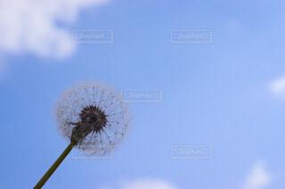 空,花,屋外,かわいい,青空,青,ふわふわ,たんぽぽ,綿毛,草木,日中,わた