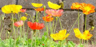花,春,屋外,赤,かわいい,カラフル,フラワー,黄色,オレンジ,草,ポピー,草木,きいろ,フローラ
