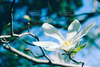 春を先取りする辛夷の花の写真・画像素材[4307996]