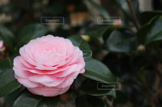 花,ピンク,かわいい,フラワー,バラ,葉,花びら,椿,美しい,草木,乙女椿,フローラ,フロリバンダ
