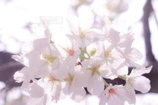 花,春,桜,ピンク,かわいい,サクラ,草木,さくら,ブルーム,ぴんく,ブロッサム