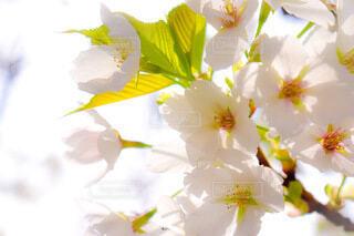 風景,花,春,桜,屋内,花束,かわいい,サクラ,美しい,ふわふわ,たんぽぽ,綿毛,草木,さくら,フワフワ,ぴんく,わた