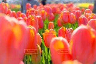 花,春,植物,かわいい,フラワー,チューリップ,オレンジ,チューリップ畑,美しい,千葉,佐倉,サーモンピンク,ぴんく,春色