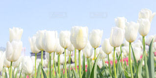 空,花,春,植物,白,かわいい,フラワー,チューリップ畑,千葉,草木,佐倉,春色