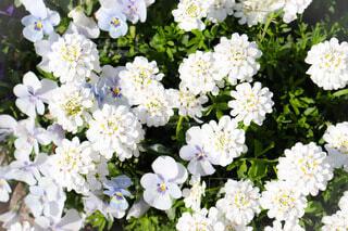 花,春,花畑,白,かわいい,花柄,草木,ガーデン,ブルーム,フローラ,キャンディータフト,ウィンドフラワー