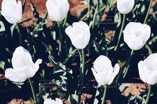 風景,花,春,屋内,バラ,花びら,チューリップ,チューリップ畑,薔薇,草木,ブルーム,クローズ アップ,フローラ