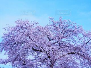 空,花,春,桜,屋外,ピンク,青空,樹木,草木,ブロッサム