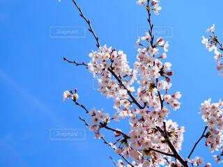 空,花,春,桜,屋外,青い空,樹木,草木,桜の花,さくら