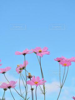 空,花,ピンク,コスモス,青い空,景色,草木