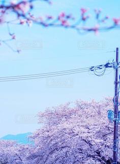 堤防の桜の写真・画像素材[4307133]