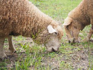 動物,屋外,羊,景色,草,草木