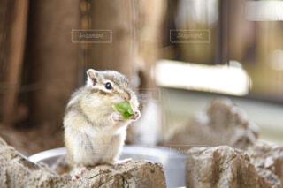 キャベツをモグモグ食べるリスの写真・画像素材[4308283]