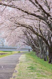 公園,花,春,屋外,草,樹木,草木,さくら