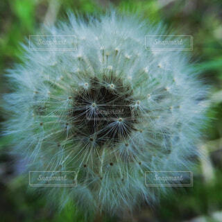 自然,風景,花,春,山,草,たんぽぽ,草木,タンポポ,クローズ アップ