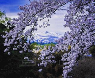 自然,空,花,春,桜,森林,屋外,ラベンダー,樹木,ライラック,草木,桜の花,さくら,ブルーム,ブロッサム
