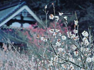 空,花,桜,森林,屋外,神社,梅,田舎,山,景色,お寺,寺社,草木