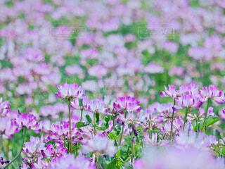 花,春,ピンク,紫,田舎,蓮華,草木,フローラ,蓮華ばたけ