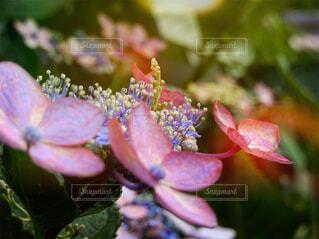風景,空,花,ピンク,景色,紫陽花,草木,ブルーム,フローラ