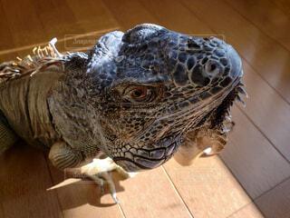 動物,屋内,床,トカゲ,爬虫類