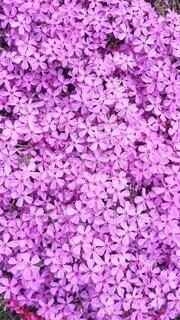 花,屋外,緑,紫,ライラック,草木,バイオレット,マンテマ