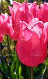 花,赤,花びら,チューリップ,薔薇,草木,ブルーム,フローラ