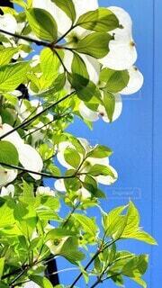 空,屋外,白,青空,葉,ハナミズキ,草木