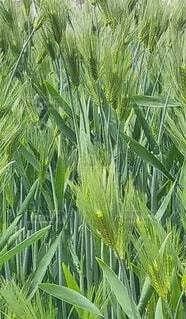 屋外,麦,草木,陸生植物