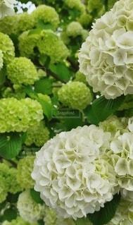 花,緑,草木,オオデマリ,ガーデン