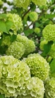 花,緑,葉,草木,オオデマリ,ガーデン,フローラ